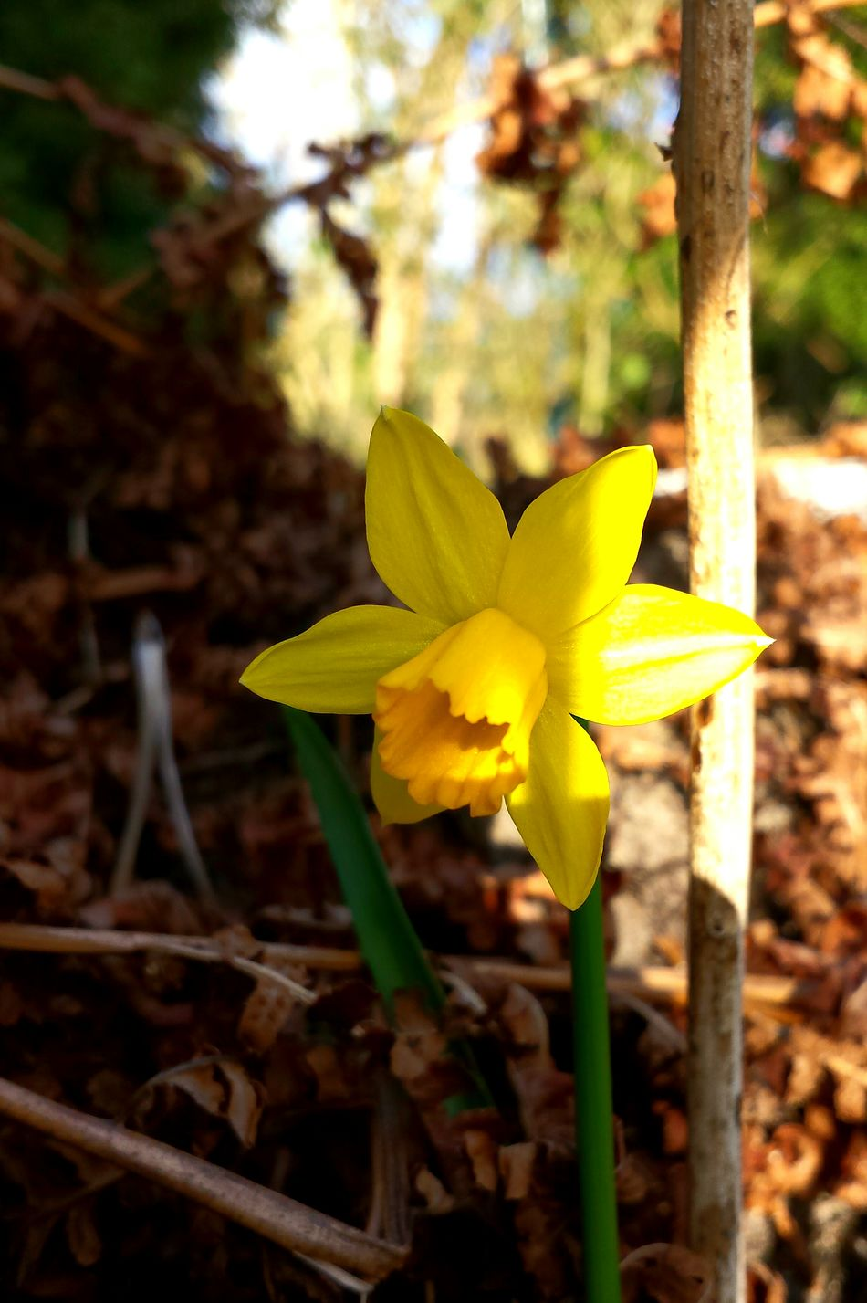 Osterglocke Bokeh Yellow Flower Nature Photography Flower Collection Flower Porn Flowers, Nature And Beauty Flower Power Easter Ready Easter Flowers Daffodil Daffodils Reaching For The Sun Daffodils, Spring, Delicate, Sky View, Garden, Blooms, Yellow, Cream, Pastel, Petals Daffodils In The Sun Close-up Beautiful Nature Spring Flowers Spring Into Spring Spring Dry Leaves - Fresh Nature Ladyphotographerofthemonth Spring Time Ostern Naht Unaufhaltsam ... Nature Awakens Here Belongs To Me Urban Spring Fever