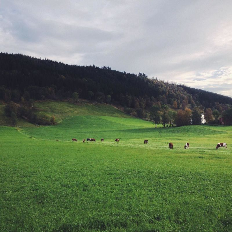row of cows Vscocam Landscape Norway Eye4photography