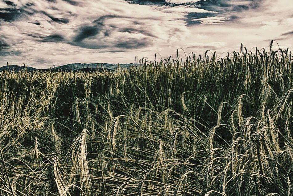 Wheat Field Countryside Slovakia
