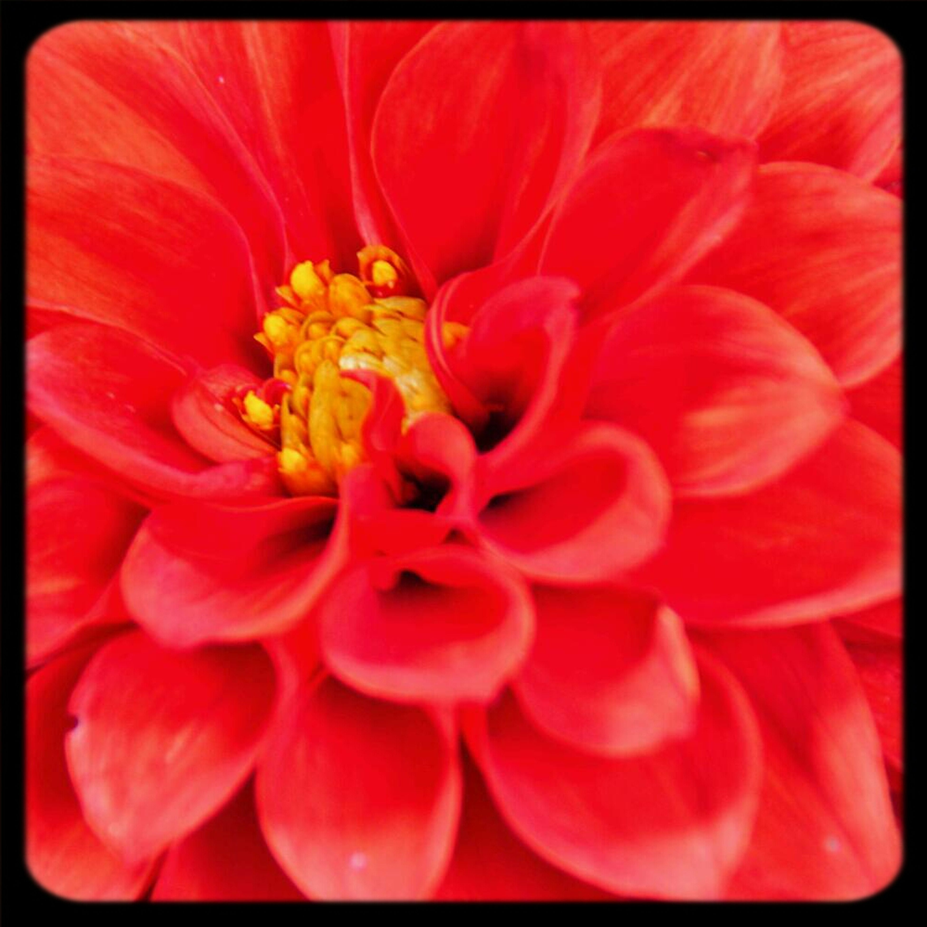 flower, transfer print, petal, red, flower head, freshness, auto post production filter, fragility, beauty in nature, close-up, single flower, growth, nature, pollen, full frame, blooming, backgrounds, stamen, no people, vibrant color
