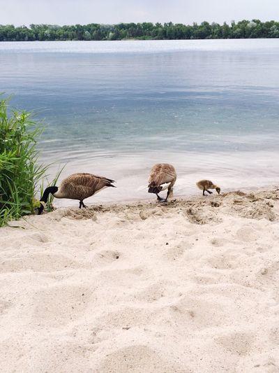 Leopoldshafen Baggersee  Ducks