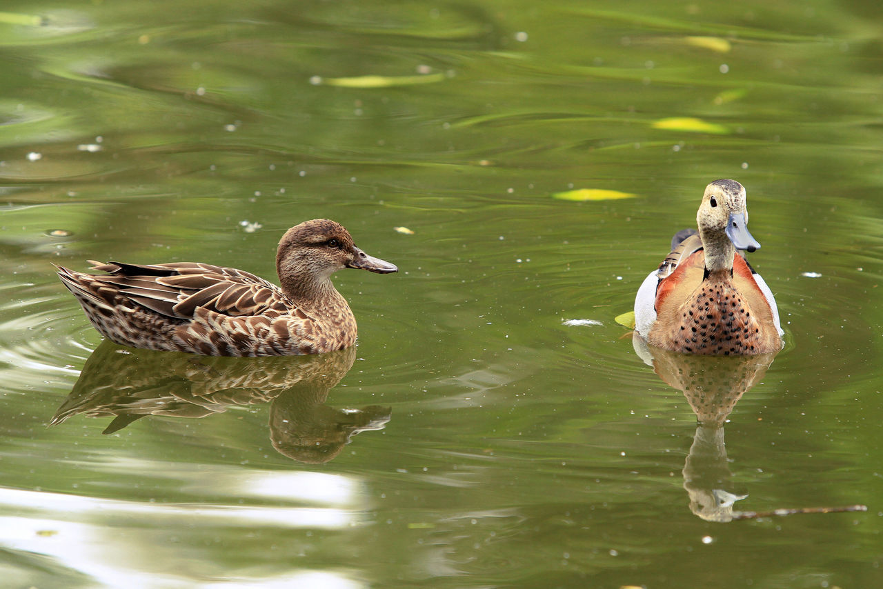 Wood Duck Animal Themes Animal Wildlife Animals In The Wild Beauty In Nature Beuty Bird Birds_collection Collection Day Ducks Grass Lake Nature No People Outdoors Pearcing Play Swim Swimming Theme Water Waterfront Wood Ducks
