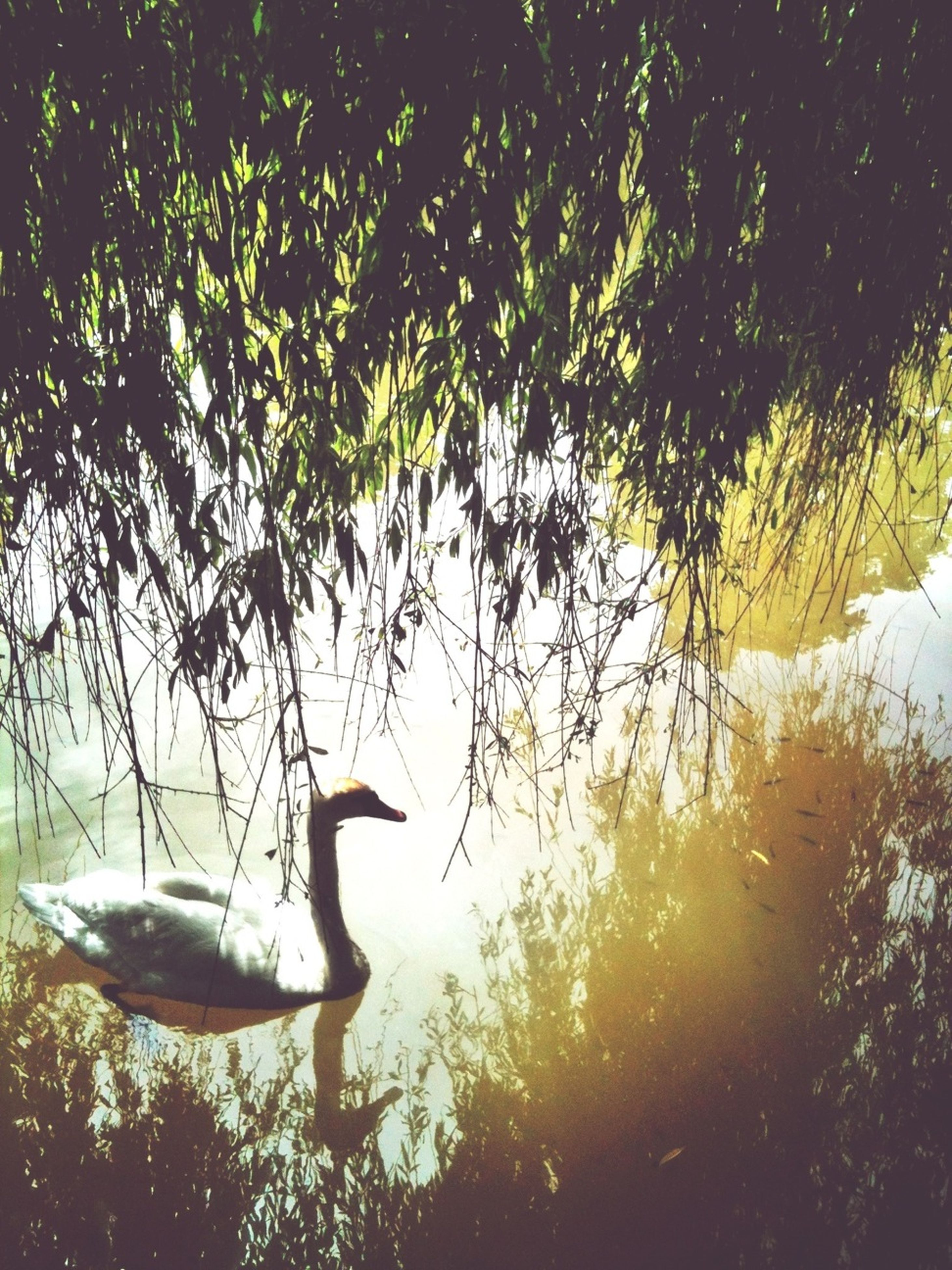 tree, water, bird, branch, nature, tranquility, beauty in nature, growth, reflection, lake, silhouette, day, outdoors, swan, tranquil scene, animals in the wild, sunlight, sky, scenics, no people