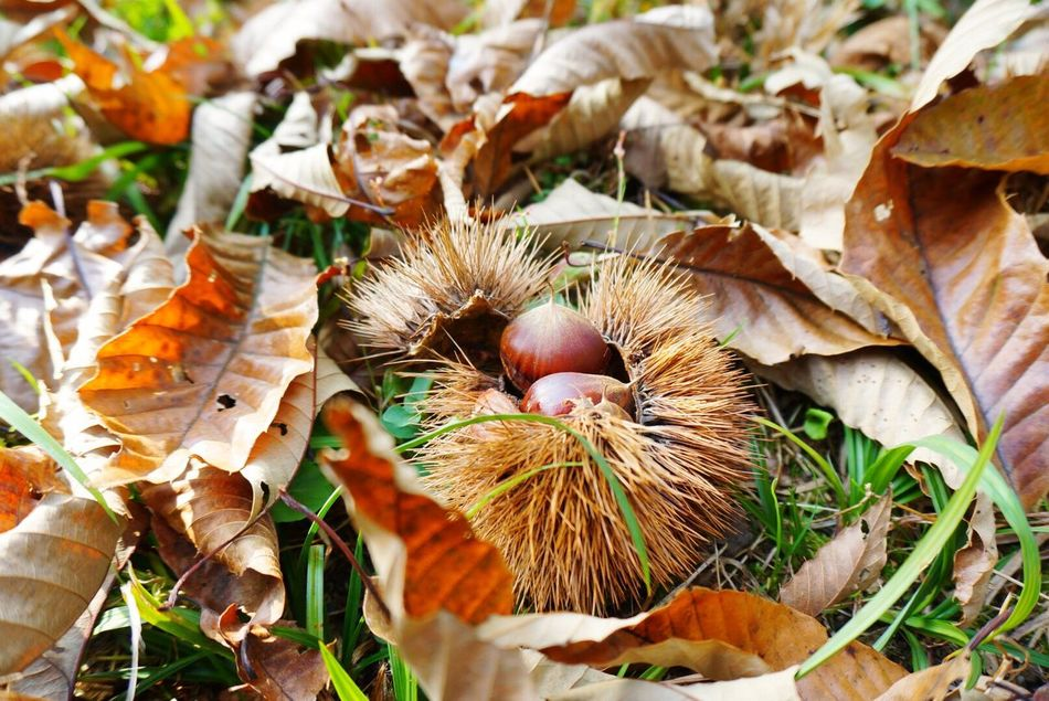 Chestnut 栗 No People Nature Fallen Leaves Fruits