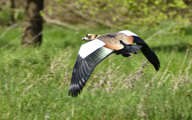 Taken at Papercourt Meadow. This wetland site, managed by Surrey Wildlife Trust, is a great place to see common and rare birds. It is one of the few places to get great views of Short Eared Owls. Alopochen Aegyptiacus Beauty In Nature Bird Flying Bird Photography Birds In Flight Birds Of EyeEm  Birds_collection Egyptian Goose Egyptian Goose In Flight Flying Focus On Foreground Nature