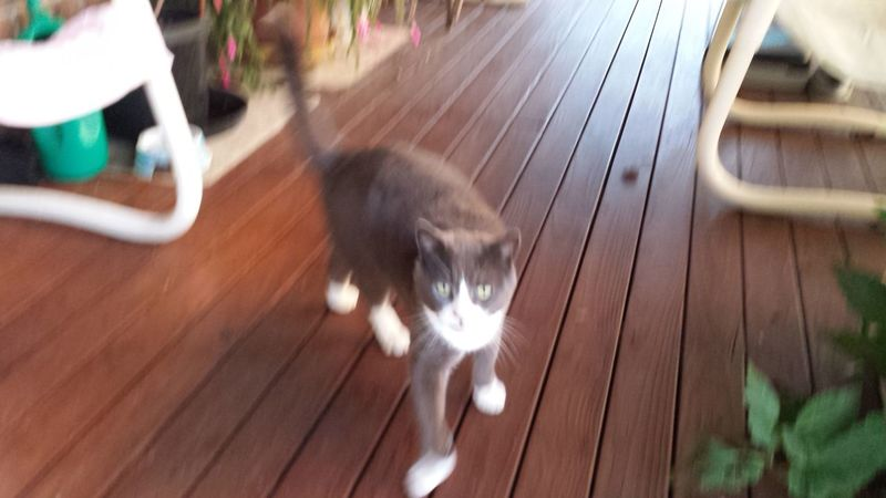 Australia Cat Cat Walking Cute Grey And White Cat