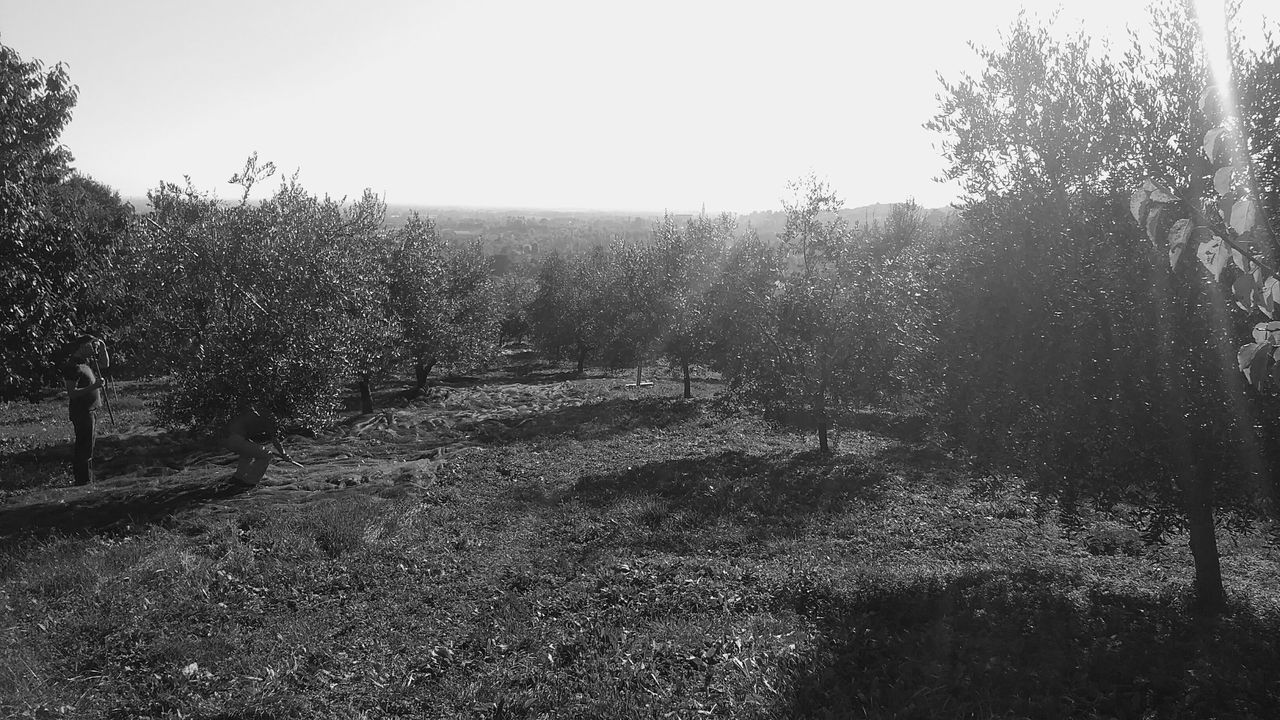 Beauty In Nature Clear Sky Day Growth Nature No People Outdoors Sky Tree Olivetree Olives Olive Tree Olive Trees Fieldscape Fields Photography Fields And Hills Black And White Photography Veneto Italy Hills Hill Hillscape Agricolture Grassfield Trees Collection Blackandwhite Photography
