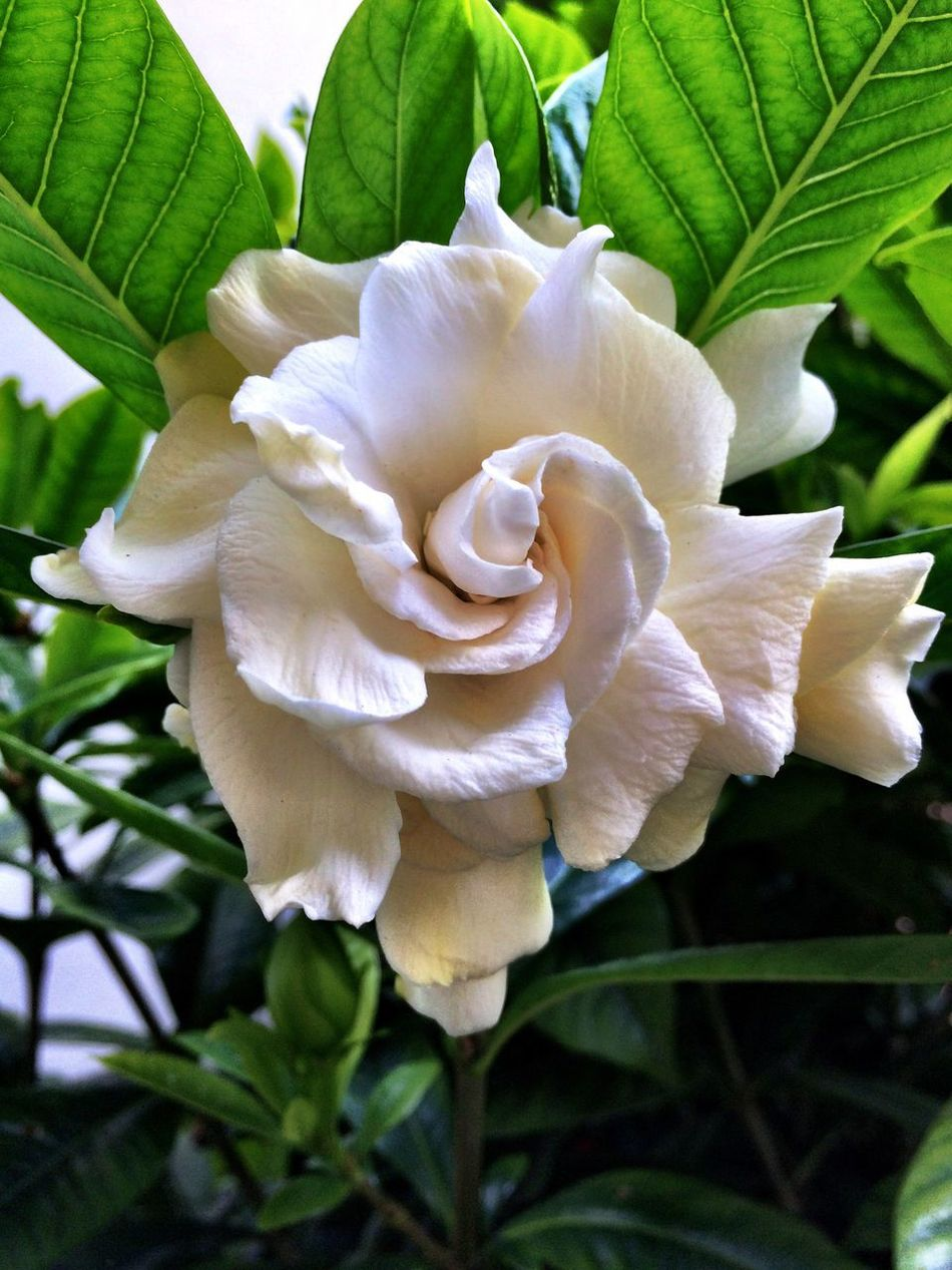 Nature Freshness Flower Beauty In Nature Petal Blooming Close-up Leaf White Flower Head Plant Gardenia