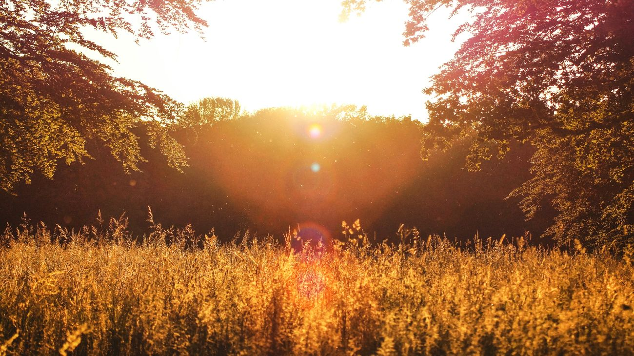 Growth Tree Nature Flower Plant Sunset Outdoors Field Agriculture Beauty In Nature Rural Scene The Great Outdoors - 2017 EyeEm Awards VSCO AdobeLightroom Capturing Freedom Sun Landscape Sky No People Day Freshness Sunlight Wanderlust Sommergefühle