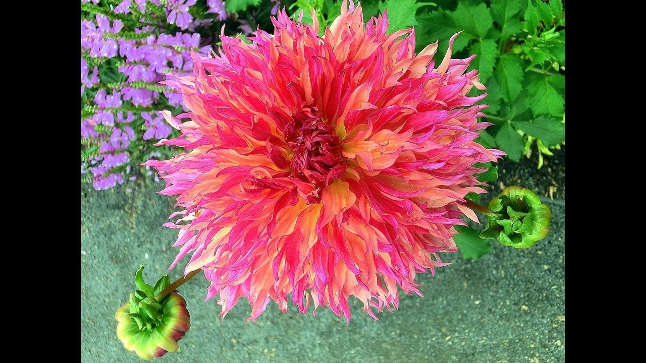 Close-up Flower Fragility Petal Flower Head Beauty In Nature Nature Outdoors Chrysanthemum Bridge Of Flowers Peace