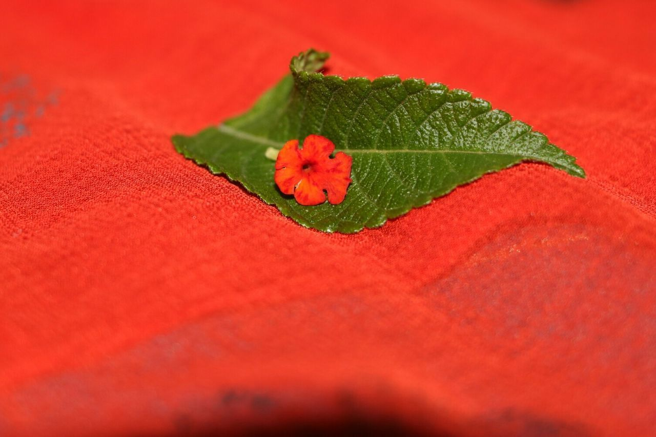 leaf, red, selective focus, close-up, no people, green color, nature, freshness, indoors, day, fragility