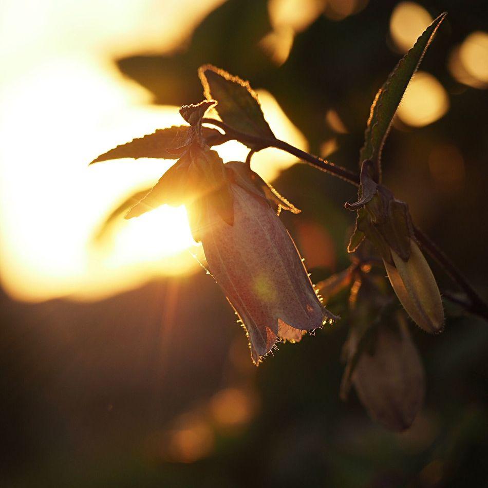 夕方のホタルブクロ ホタルブクロ 夕日 EyeEm Flower Light And Shadow Flower EyeEm Nature Lover Natural
