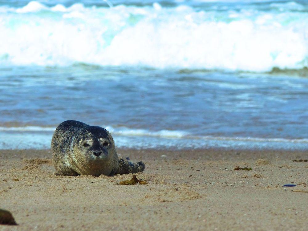 Animals Beach Beach Life Beach Photography Beauty In Nature Nature Nature Photography Naturelovers Outdoors Sea Seal Shore Sylt Sylt_collection Water