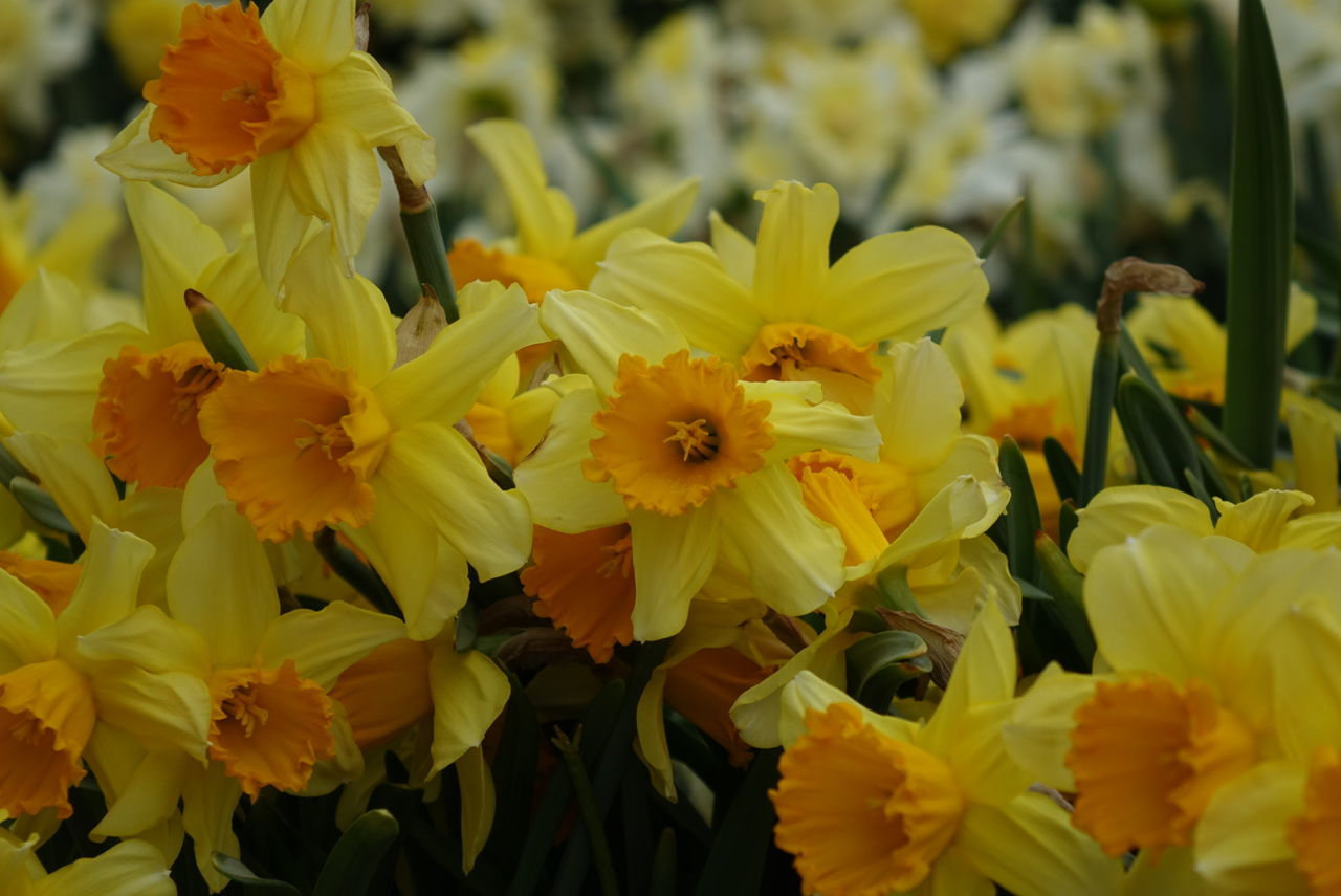 Beautiful stock photos of spring, Daffodil, Flower, Hope, Nature