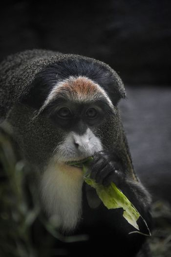 Animal Themes One Animal Animals In The Wild Animal Wildlife Nature No People Mammal Close-up Day Outdoors Animal Head  Teeth Animal Photography Primate Monkey Zoo Animals Zoo Animals  Mammals Animal Zoophotography Zoology Eating Lettuce Eat