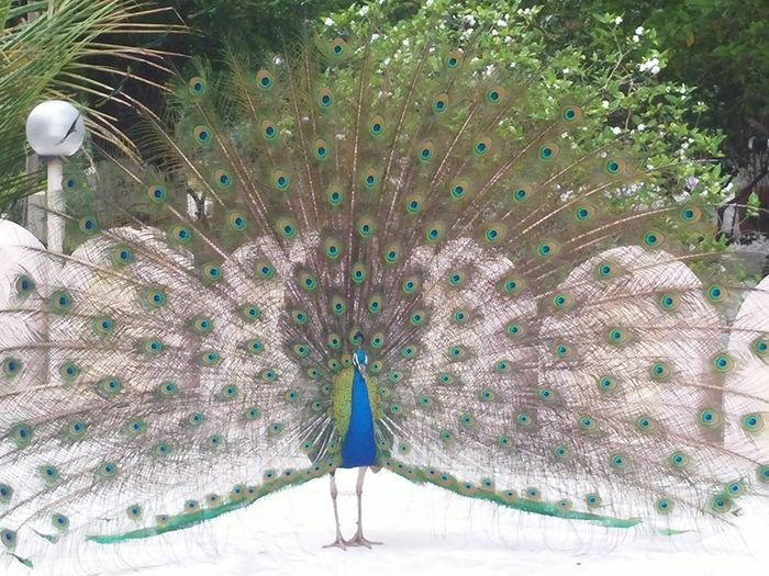 Ahemadabad Gujarat India Travel Trip.. ClickedByMe Clicking Randomly Clicked From Phone Peacock Dancing Click Click 📷📷📷 Peacock Portrait Peacocks And The Castle Peacock Pleasures Peaceful Evening Peacock Colors Peacockpride Peacockphotos Peacock Feather Peacock Photography Outdoors