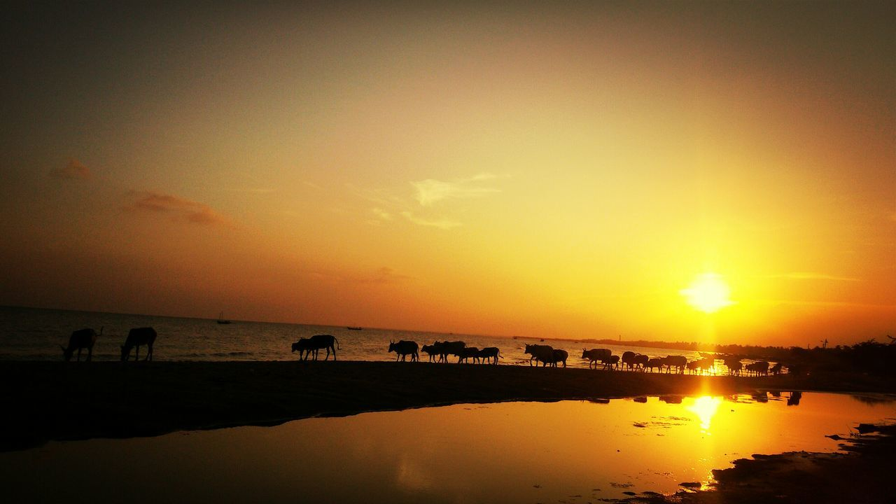 Silhouetted Herd Of Cow Walking On Beach