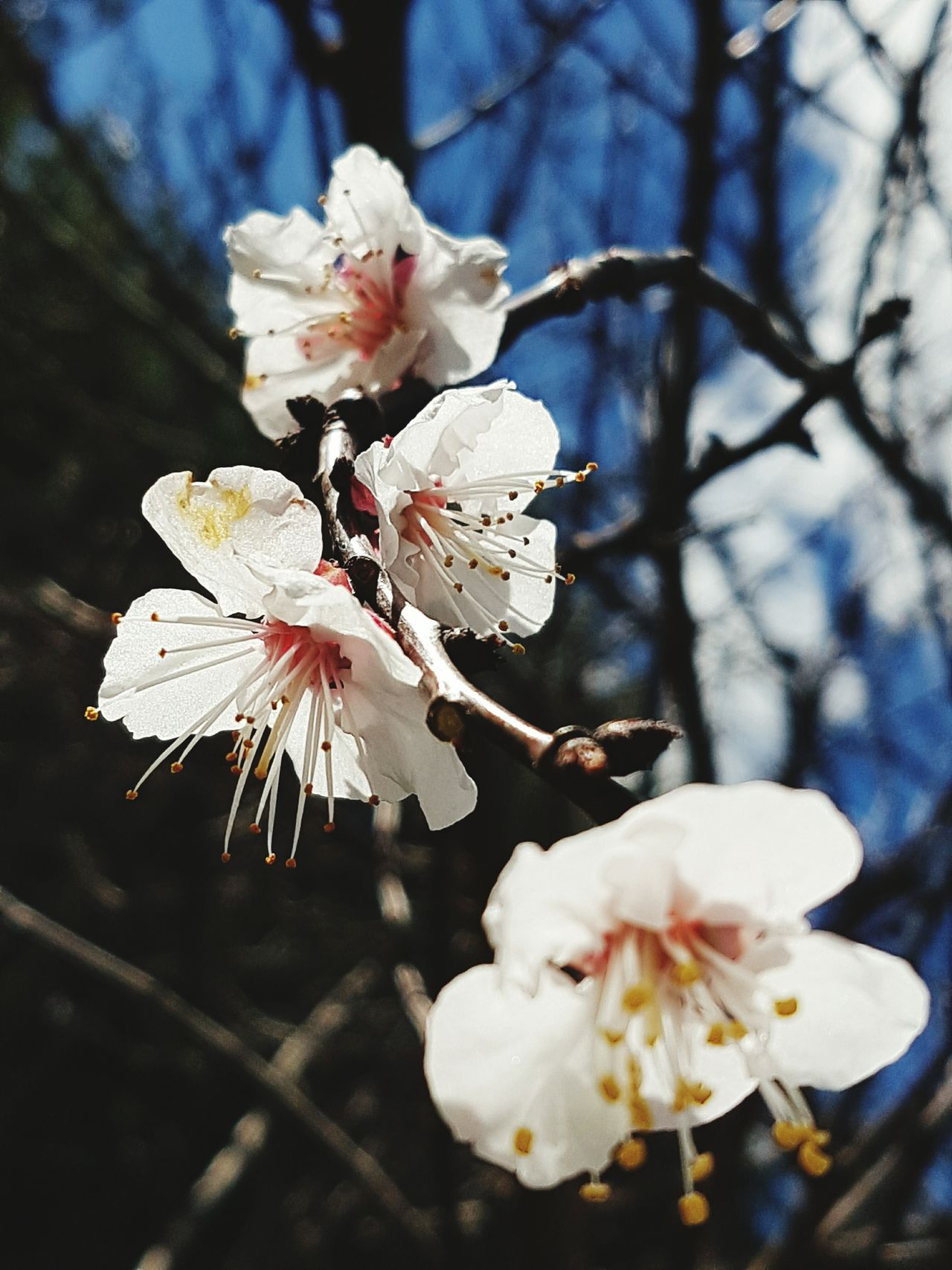 Apricot Blossoms Blossom Freshness Sunlight Flower Head Springtime Spring Outdoors Tree Beauty In Nature Close-up Fragility