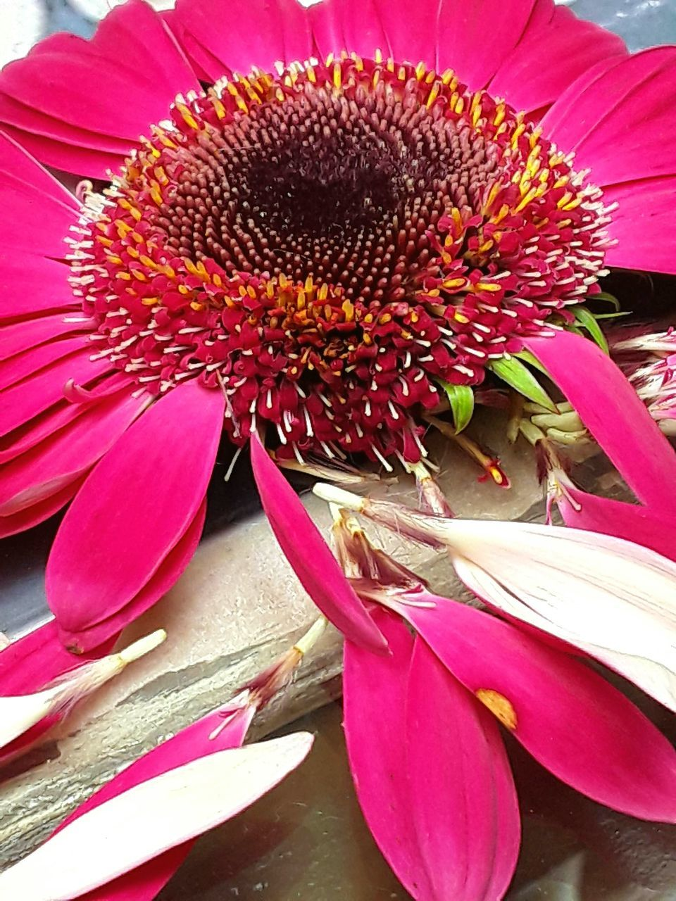 flower, petal, fragility, freshness, flower head, nature, beauty in nature, close-up, pollen, growth, pink color, no people, day, purple, blooming, outdoors, red, eastern purple coneflower