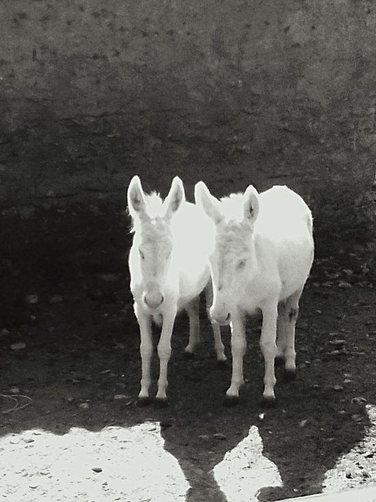 White Pony Sardinian Pony Animal Themes Albine Pony