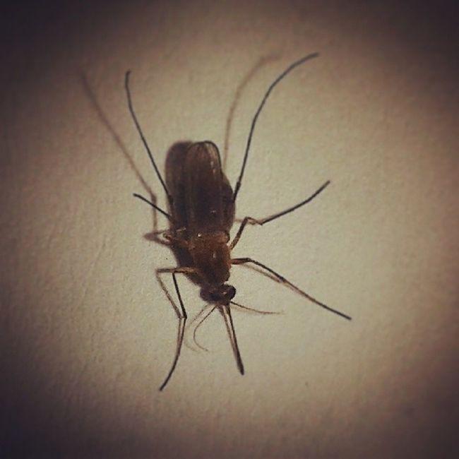 Insect ناموسة حقيرة