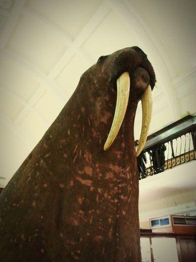 Hornimanmuseum Walrus