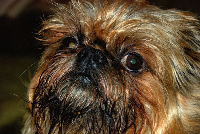Brussel Griffon close-up Animal Brown Close-up Dog Focus Object Focus On Foreground Fur Griffon Maximum Closeness One Animal Pet