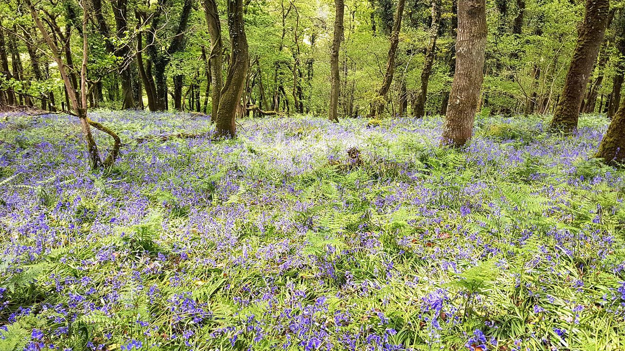 Nature Day Growth No People Beauty In Nature Green Color Tree Outdoors Forest Freshness Bluebell Bluebell Wood Bluebell Woods Bluebells