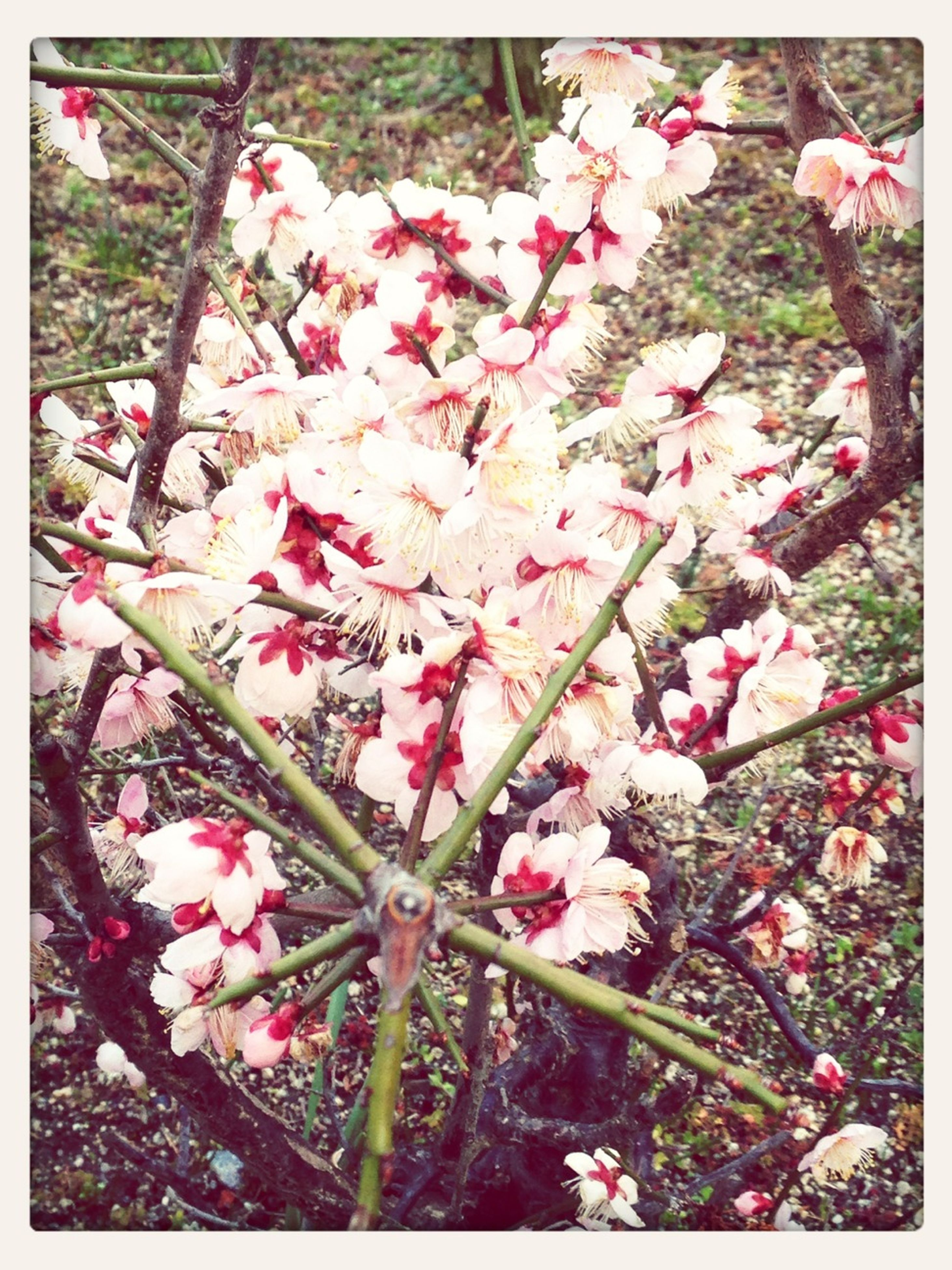 flower, transfer print, growth, auto post production filter, freshness, branch, pink color, fragility, beauty in nature, tree, nature, blossom, low angle view, blooming, petal, in bloom, cherry blossom, springtime, day, outdoors