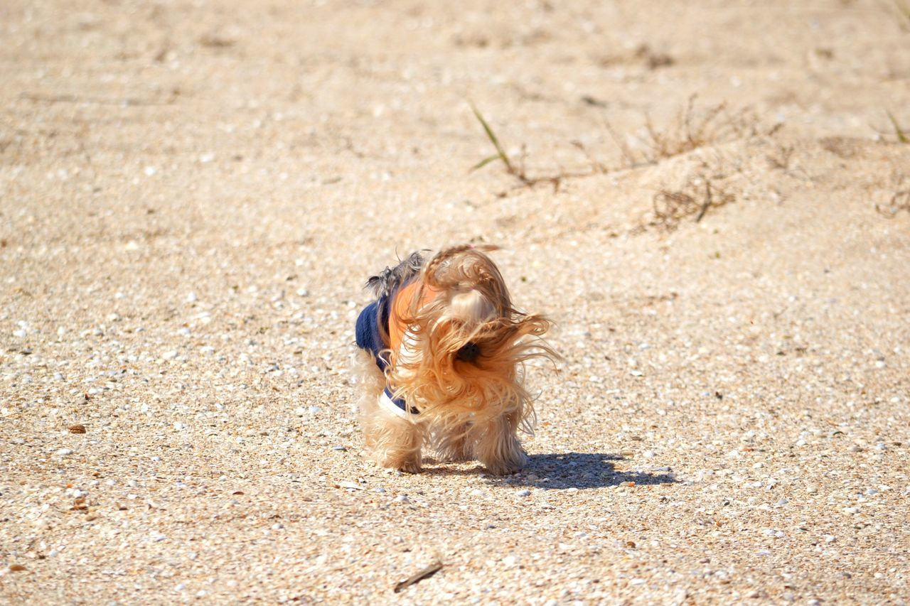 Freedom Running Run Showcase April Beach Windy April Sunlight Enjoying Life Animal_collection Spring Dog Things I Like Yorkshire Terrier Yorkie Animal Themes Sunny Day