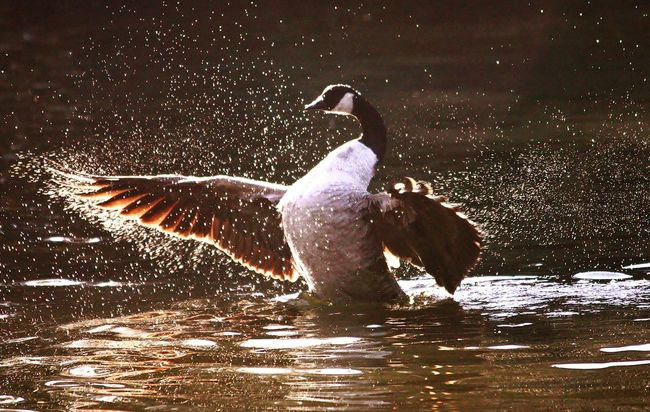Mothernature Outdoor Photography Great Outdoors Canadian Geese Water Droplets Bird Photography Lakelife Lake Spread Wings Splash Splashing