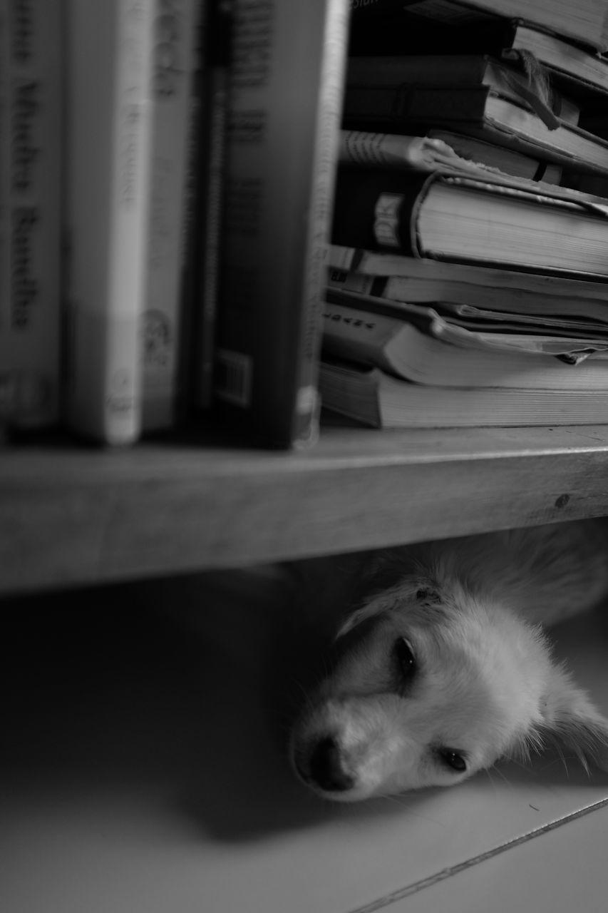 Dog Lying On Floor Under Bookshelf At Home