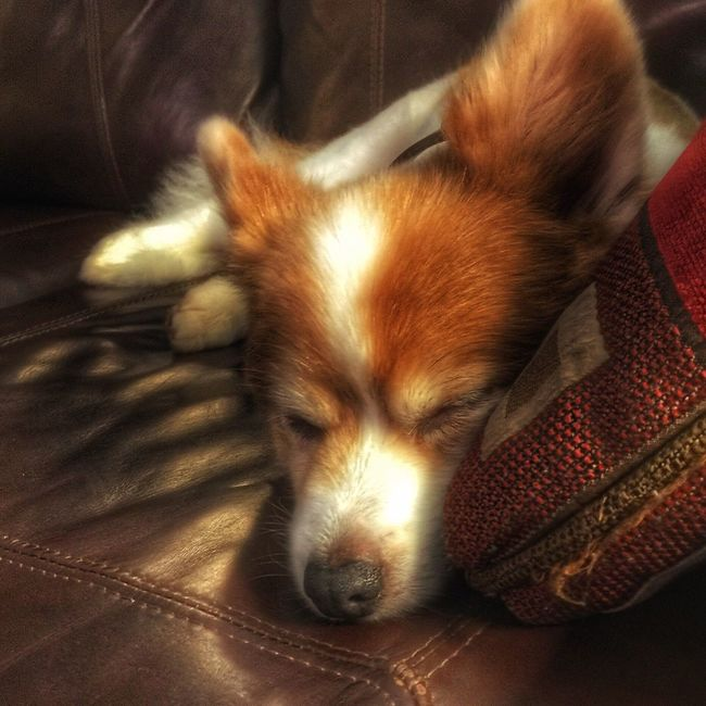 It's a tough life! Pomeranian Papillion Dog Cute Dog  Close-up IPhoneography Iphoneonly Pets Sleeping Sleeping Dog EyeEm Pets EyeEm Best Shots EyeEm Animal Lover EyeEmBestPics Picoftheday Bestoftheday