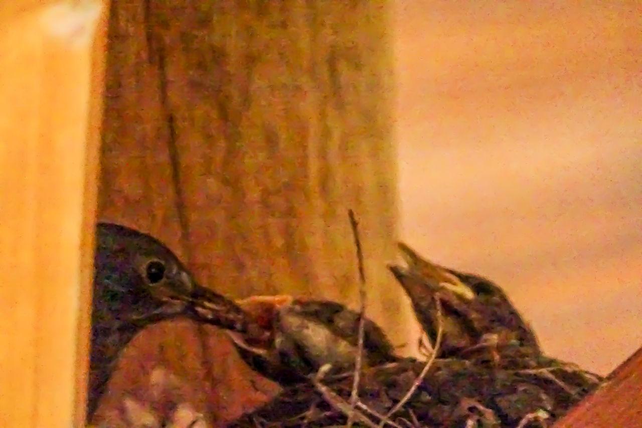 Animal Themes Beautiful Nature Birds Feeding Merle Merle Nature Springtime Wildlife