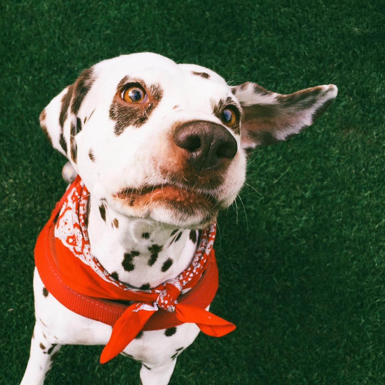 IPhoneography Dog Doggy Dalmatian Animals Nature Mydogisamodel Pets Corner Portrait Of A Friend The Moment - 2015 EyeEm Awards
