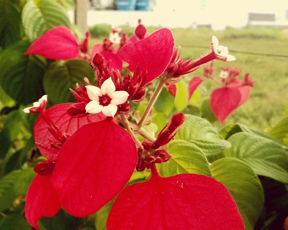 Floresvermelhas Jardins Pelasruasdacidade Vermelho EyeEm Nature Lover Botanical Flowers Garden Photography Nature_collection