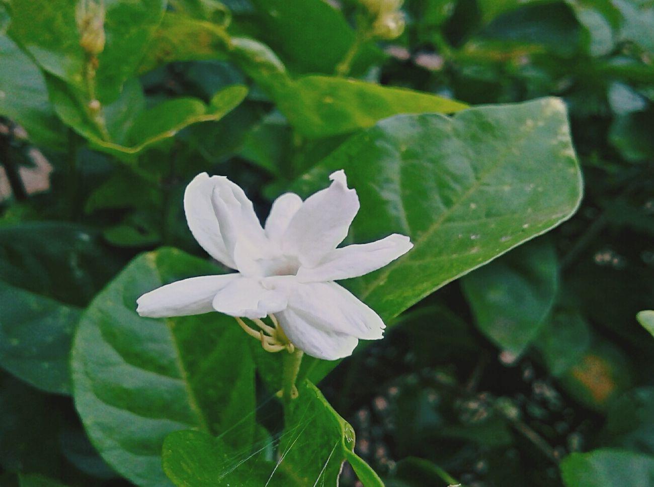 Jasmine Jasmine Flower Flower Leafs 🍃 Green White Plants 🌱