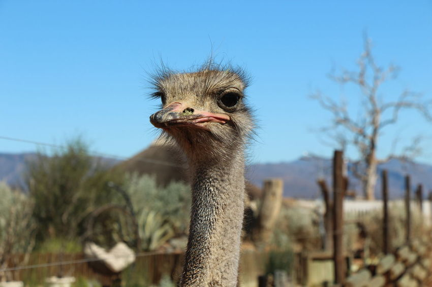 National nature conservation park - South Africa Animal Animal Themes Animals Animals In The Wild Bird Blue Clear Sky Close-up Day Focus On Foreground Looking At Camera National Park Nature No People One Animal Ostrich Outdoors Portrait Sky South Africa Wildlife