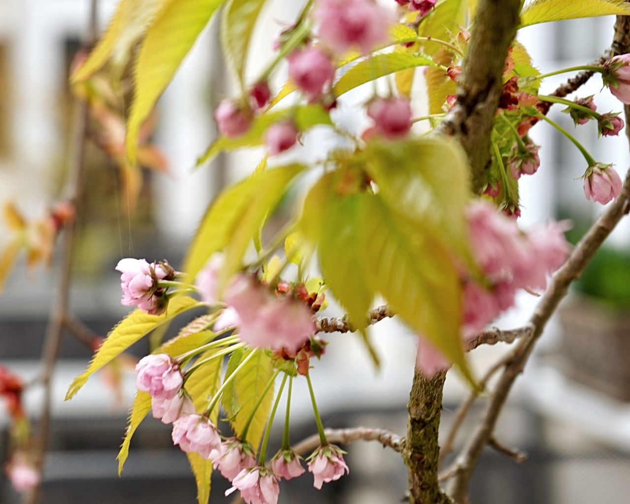 flower, fragility, growth, beauty in nature, petal, blossom, close-up, nature, freshness, day, springtime, no people, pink color, focus on foreground, branch, flower head, outdoors, tree, blooming