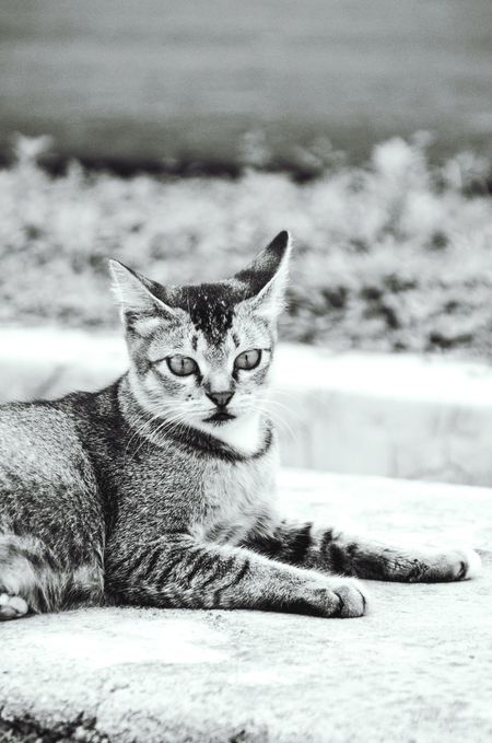 TCPM Domestic Cat Pets Portrait One Animal Mammal Animal Themes Day Close-up Calm Cats 🐱 Cats Of EyeEm Cat♡ Cats Lovers  Blackandwhite Portrait Photography