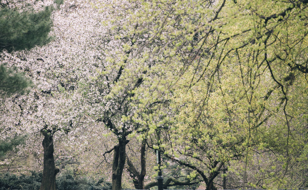 Spring looks good on Central Park Beauty In Nature Beauty In Nature Blooming Blossom Blossoms  Branch Central Park Central Park - NYC Cherry Blossoms Close-up Day Flower Fragility Freshness Growth Nature New York City No People Outdoors Pink Spring Springtime Tree Trees