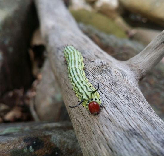 Wood - Material Beauty In Nature Caterpillar Close-up Redhead Worm's-eye View Red Beautiful Creature