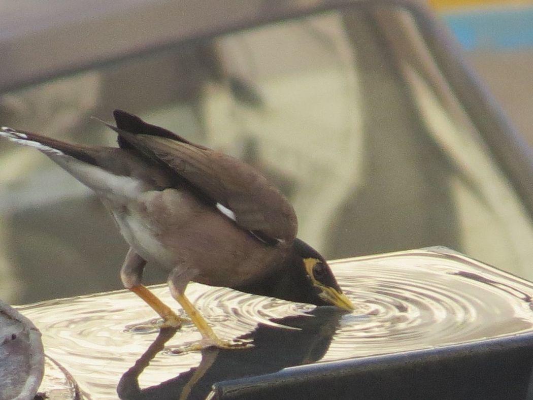 Thirsty bird Drinking Relief In Summer