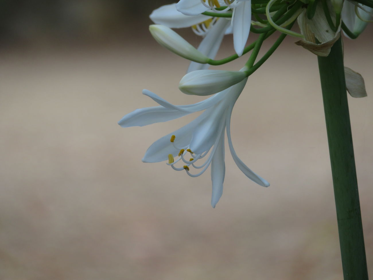 Agapanthus Plant Nature Beauty In Nature White Close-up Flower Head No People Fragility Macro No Filter No Edit Calmness Simplicity Quiet Moments In My Garden Minimalism Nature Photography Flower Collection