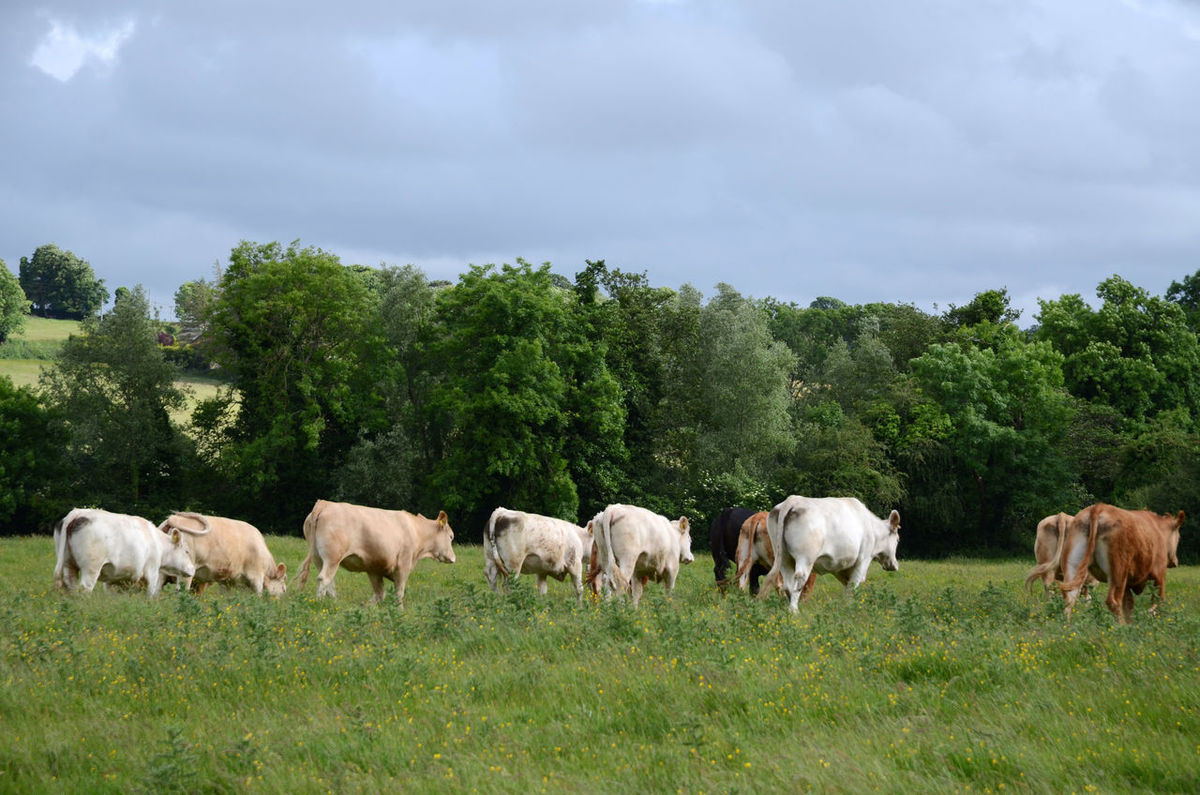 Animal Themes Cow Day Grass Grazing Livestock Mammal Outdoors Rear View Rural Scene Summer Pasture