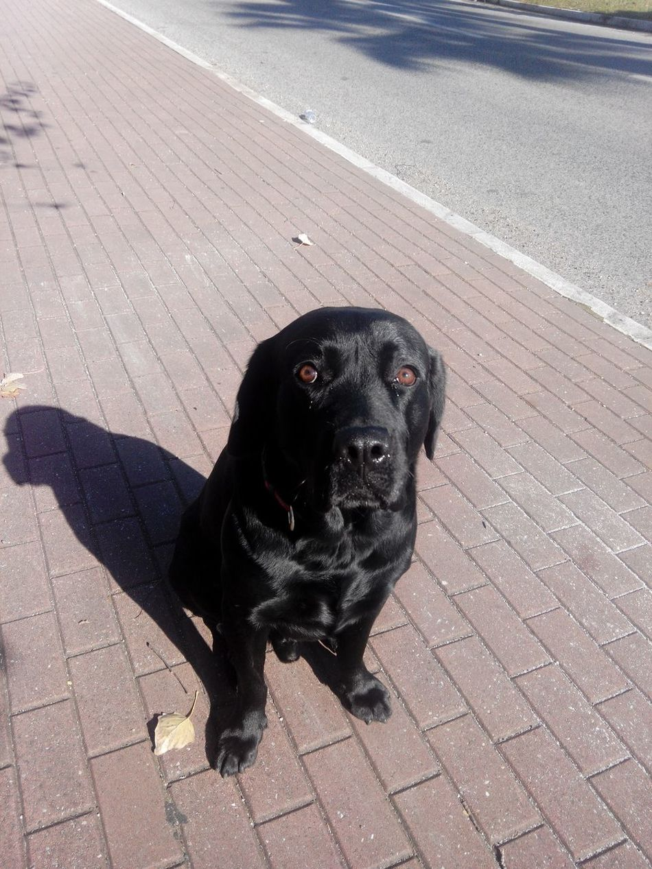 Dog Dog Walking Guilty Look Guiltydog Labrador Retriever Blacklab Blacklabrador LabradorRetriever BlackDog