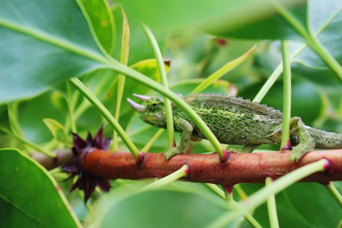 Hawaii Maui Colors and patterns Reptile Outdoors Nature Beauty In Nature Beauty Of Nature EyeEm Nature Lover In The Wild Green Color Green Chameleon Jackson's Chameleon Focus Object The Great Outdoors - 2017 EyeEm Awards