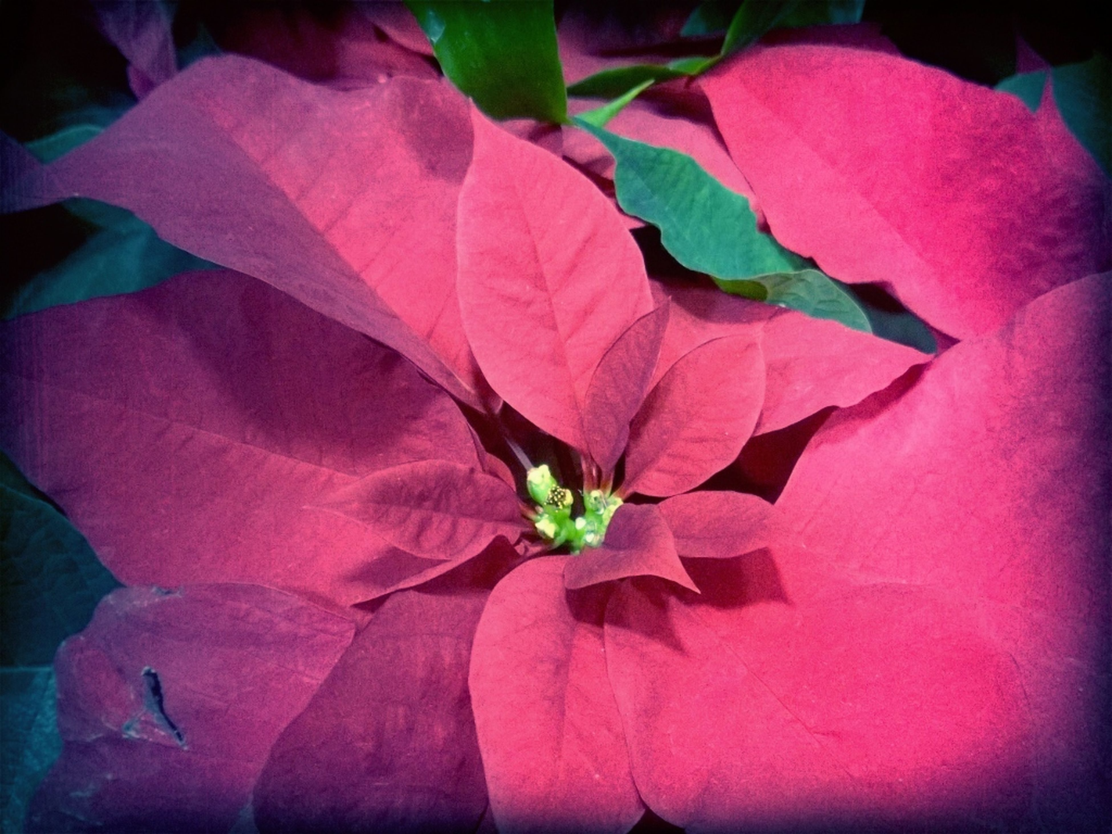 flower, petal, pink color, fragility, flower head, close-up, beauty in nature, growth, nature, freshness, plant, leaf, wall - building feature, indoors, no people, blooming, purple, single flower, day, auto post production filter