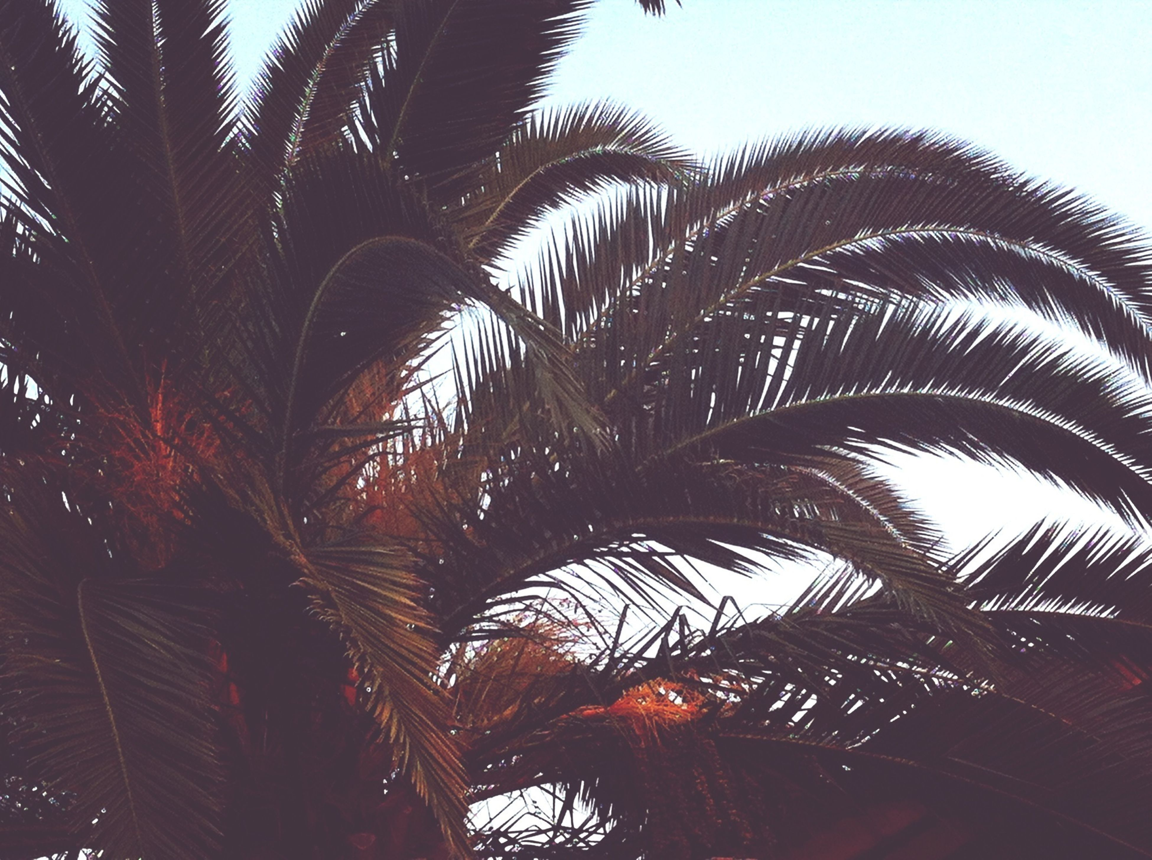 palm tree, tree, low angle view, growth, clear sky, palm leaf, sky, nature, tranquility, beauty in nature, tree trunk, coconut palm tree, tall - high, branch, silhouette, outdoors, tropical tree, tropical climate, scenics, palm frond