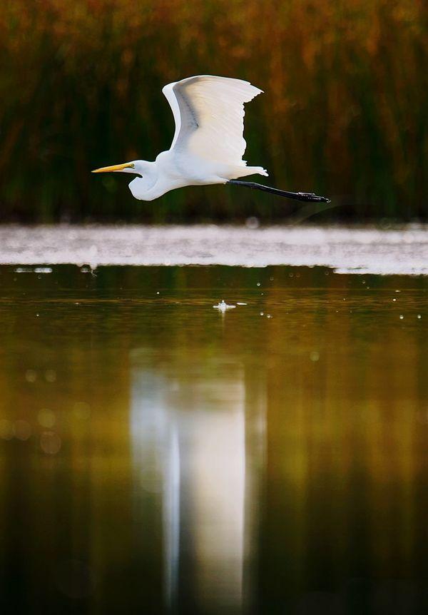 Snowy egret in flight Animal Wildlife Reflection One Animal Lake Bird Water Animals In The Wild Outdoors Nature Flying EyeEm Selects Environment Snowyegret Whiteheron Heron